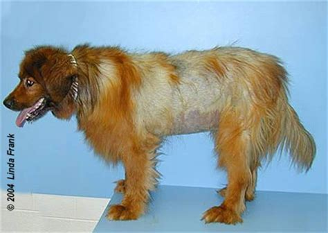 what causes hair loss in dogs utcvm hair loss