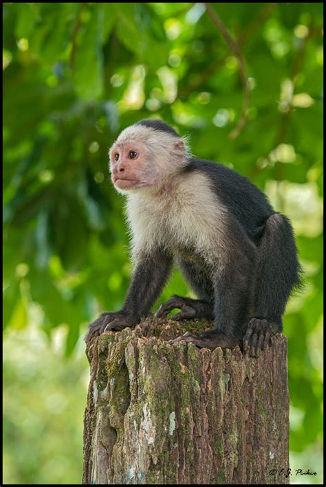 White Faced Capuchin Monkey | LONG HAIRSTYLES