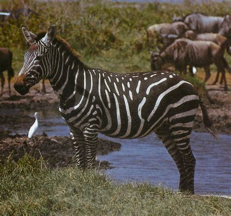 black zebra i spy animals i spy games in the animal kingdom page 3
