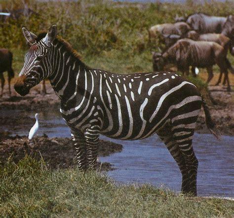 Black Zebra | the dark side of zebras i spy animals