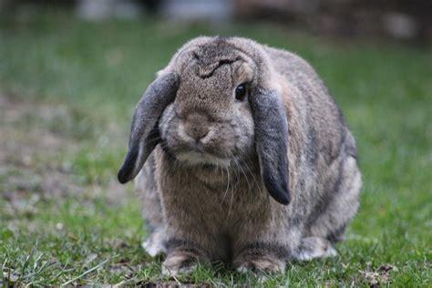 Free photo: Rabbit, Bunny, Animal, Cute, Furry   Free Image on Pixabay   705773