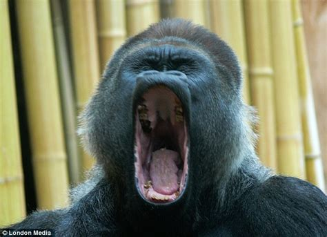 open wide see how a gorilla visits the dentist abc news pavarotti eat your heart out it s the singing gorilla