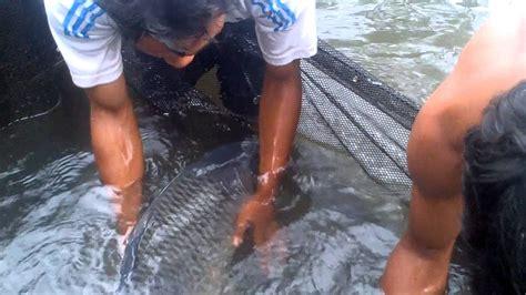 Bibit Ikan Koi Bogor indukan ikan siap di pijah ciea bogor 081310422355