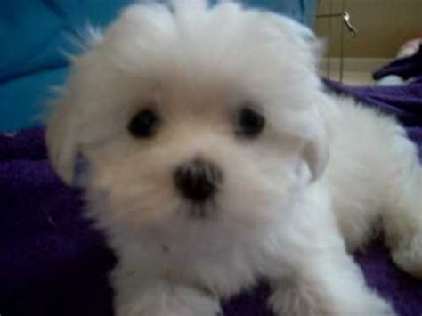 baby maltese puppies daisey s maltese puppies quot and jan s baby quot