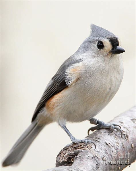 77 best images about tufted titmice on pinterest