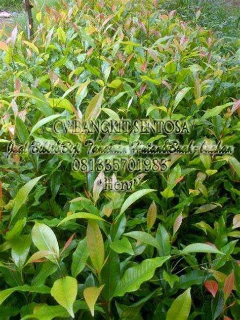 Bibit Cengkeh Sansibar cv bangkit sentosa jual bibit biji tanaman hutan buah buahan
