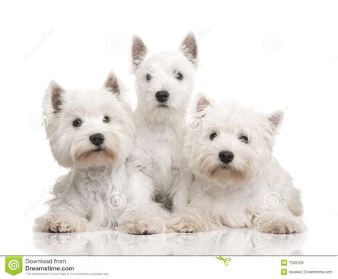 styles of clips for west highland terriers west highland white terrier in a row royalty free stock