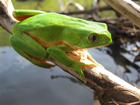 imagenes de ranitas verdes rana monito culebra verde de vientre rojo