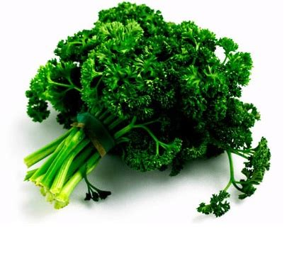 Benih Biji Bibit Parsley Giants Of Italy benih daun parsley keriting curly