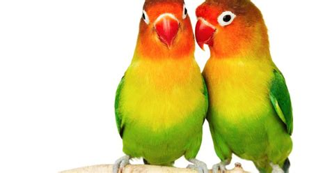 Wp Lovebird Bertelur Breding Obat Burung menentukan bird jantan dan betina kenari canary