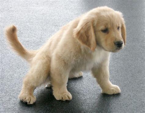 puppy pees when excited educare il cucciolo a sporcare nel posto giusto