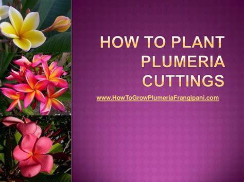 how to plant plumeria cuttings gardening pinterest