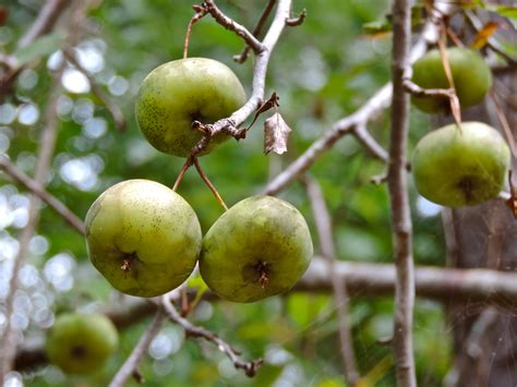 wild crab apples 171 cookiecrumbstoliveby
