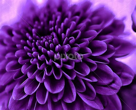 flower bloom royal purple chrysanthemum in bloom 5284312988516352