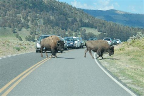 Park 4 1 Mba by Bison In Yellowstone National Park Wildlife Promise