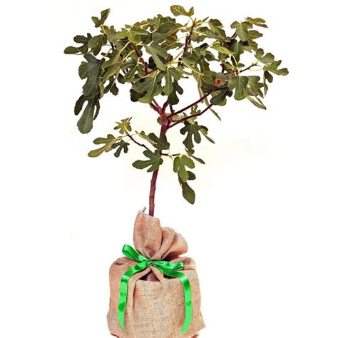 tree gifts fig tree gift by trees direct eco gifts