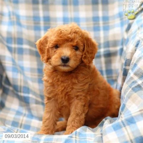 mini doodle breeders in pa 38 best images about goldendoodles on