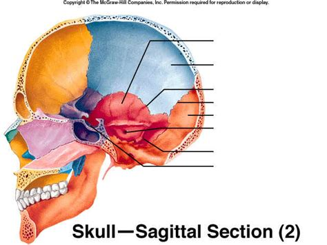 Sagittal Section Of The Skull medial view of sagittal section of skull thinglink