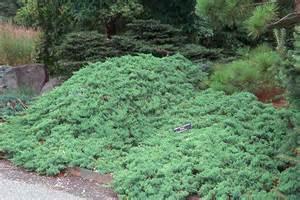 japanese juniper ground cover garden