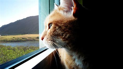 pencereden bakan kedi resim wallpaper guezel resimler