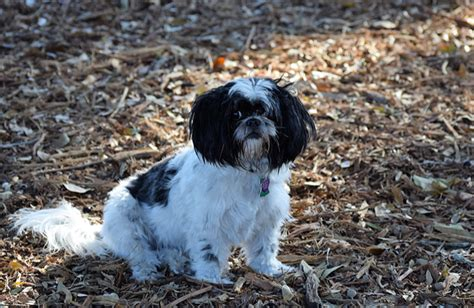 shih tzu curl shih tzu breed history information and pictures pawculture