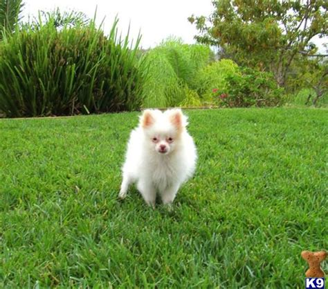 teacup pomeranian puppies for sale in california black teacup pomeranian puppies for sale in california