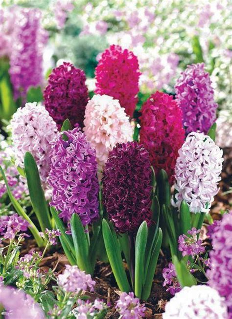 the most fragrant plants one of the most fragrant flowers hyacinth bulbs