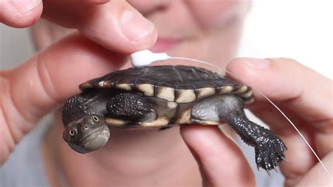 Neck Turle eastern neck turtle facts and pictures reptile fact