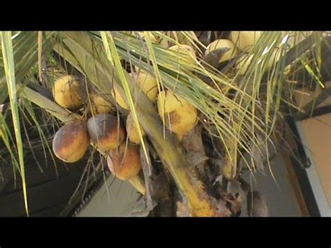 Bibit Kelapa Sawit Hibrida pohon kelapa gading hibrida