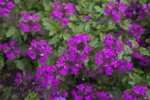 light purple flowers verbena canadensis light purple flowers medium jpg 800