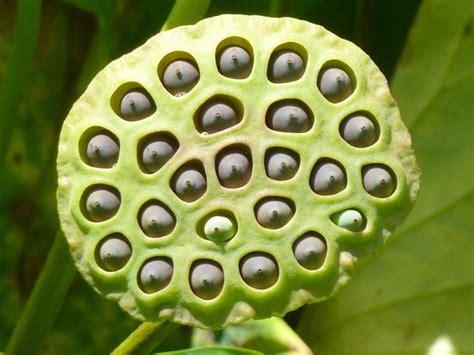 fiore di loto simbolo fior di loto nelumbo nucifera piante acquatiche
