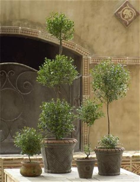 live rosemary topiary topiary live topiary and preserved topiary