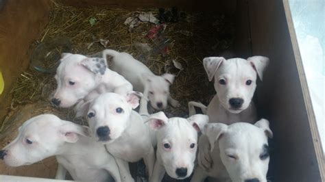 staffordshire bull terrier puppies for sale staffordshire bull terriers for sale oxford oxfordshire pets4homes
