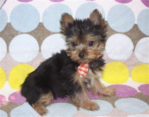 yorkie puppies for sale in alabama alabama for sale puppies for sale