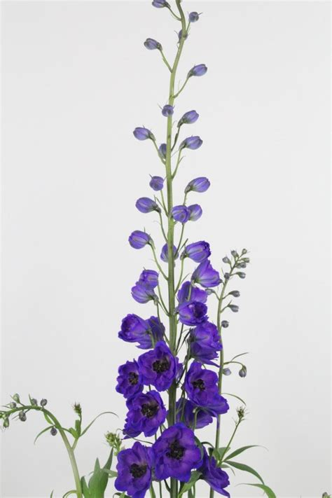 delphinium tattoo the 25 best delphinium ideas on
