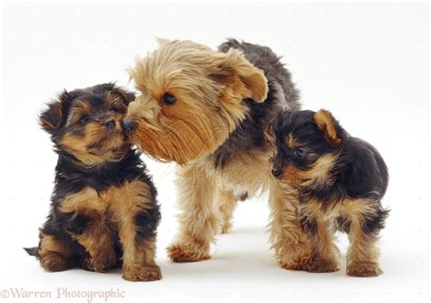 family yorkies 50 beautiful terrier photos and pictures