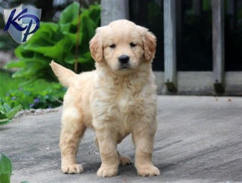 golden retriever bebe 124 best images about golden retriever puppies on service dogs pets and