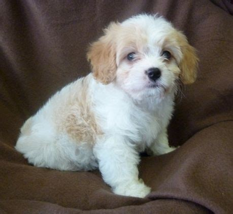 cavachon puppies ohio cavachon puppies for sale in puppies mongrel and for sale
