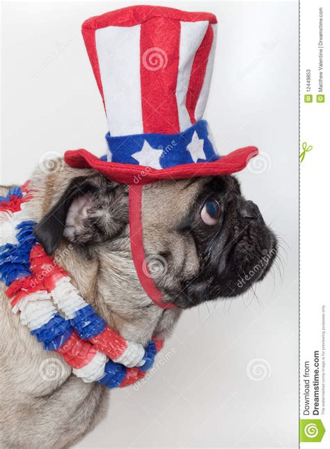 american pug puppies patriotic american pug stock photos image 12449853