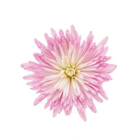 rosa fiore immagini fiore rosa scaricare foto gratis