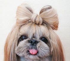 what s the lifespan of a shih tzu 1000 ideas about shih tzu on baby shih tzu shih tzu and puppies