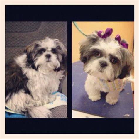 how to look after a shih tzu puppy digger dogs