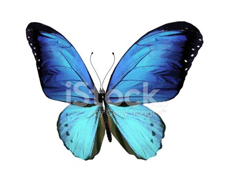 Gamis Buterfly Premium White Pasmina blue butterfly isolated on white stock photos freeimages