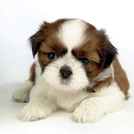white and brown shih tzu 48 shih tzu puppy pictures and photos