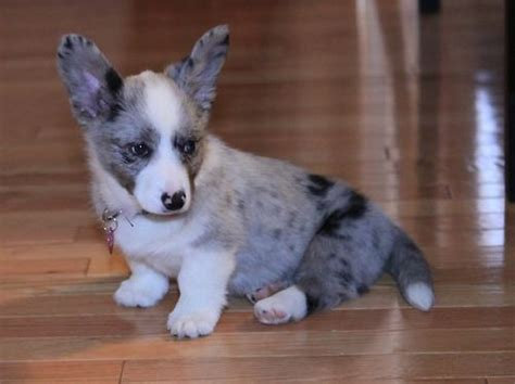 blue merle corgi puppies another blue merle corgi things that make me happy