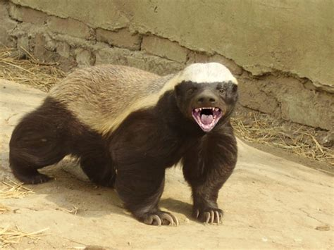 the world s most fearless creature is the honey badger
