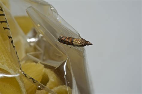How To Prevent Moths In Pantry by Pantry Moths Removal Prevention Tips Island