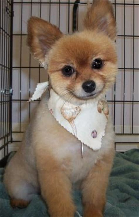 summer haircut pomeranian short hair cut pomeranian animal stuff pinterest