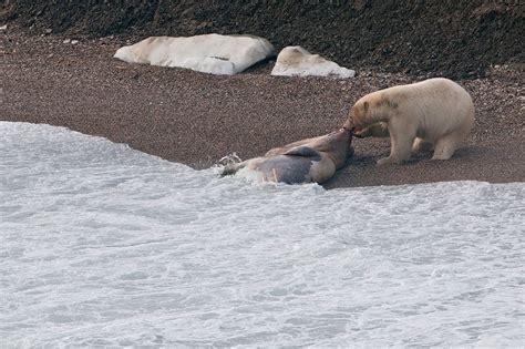 polar bears wrangel island russian geographical society