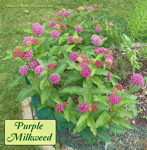 milkweed planter passion design milk asclepias purpurascens purple milkweed for monarchs